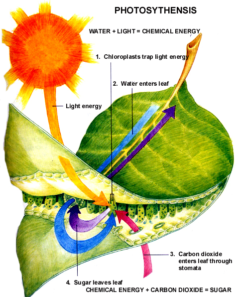 Clip Art Photosynthesis Leaf Cross Section Color Preview 1 Pictures To